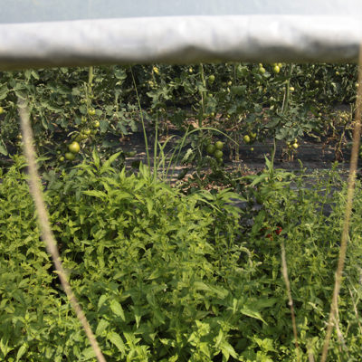No corner is left empty... In the polytunnels where it's too low to stand, Michael has planted Mint and Sage.