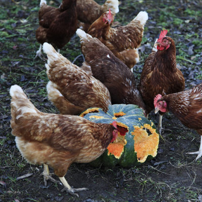 Not only did the chickens get a first class organic meal every day.....