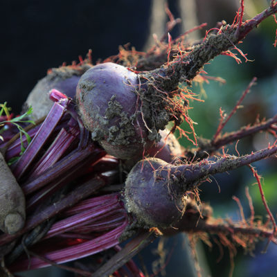 The beets would be eaten from leaf to root.